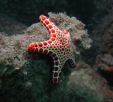 Red Plated Seastar by Matt Gibbs