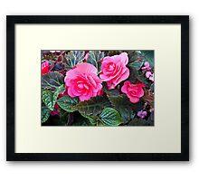 Begonia Beauty  Framed Print