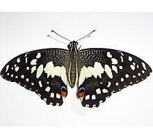 Lime Butterfly Underside Photographic Print