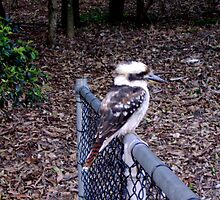 Kookaburras Rest by reflector
