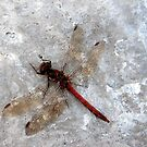 Dragonfly on harbour wall by Merice  Ewart-Marshall - LFA