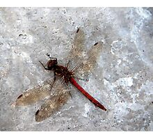 Dragonfly on harbour wall Photographic Print