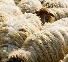 Sheep by kevomanno