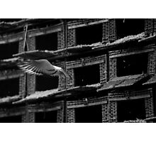 The Last Bird to fly, Racing Pigeons, Gretna Photographic Print