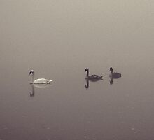 Swan, Cygnets and Fog by Tez Watson