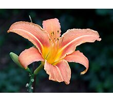 Apricot Lily Photographic Print
