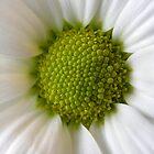 Daisy Daisy by Jacqueline Baker