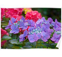 Bigleaf Hydrangea (Hydrangea macrophylla) Poster