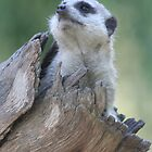 peeking meerkat by sassey