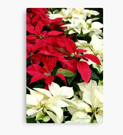 Poinsettias Sprinkled with Raindrops Canvas Print