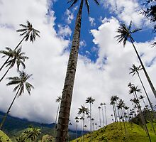 Wax palms in Colombia by robinmoore