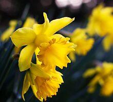 Daffodil Day by Donncha O Caoimh