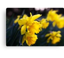 Daffodil Day Canvas Print