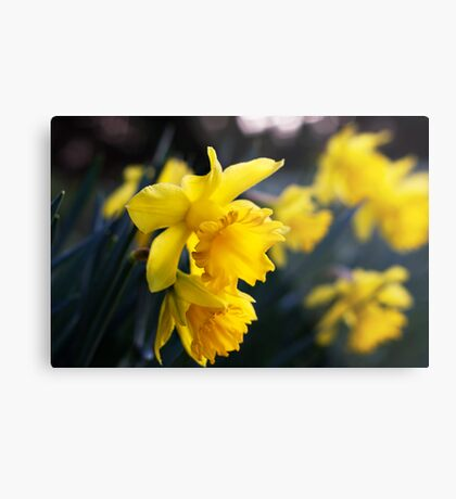 Daffodil Day Metal Print