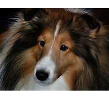 Sheltie Photographic Print