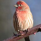 House Finch by Carl Olsen