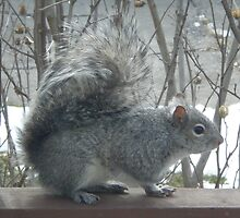 The Grey Squirrel by 1greenthumb