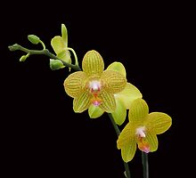 Yellow Orchids by qbranchltd