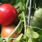 Tomatoes on the Vine by qbranchltd