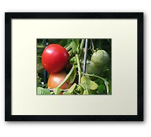 Tomatoes on the Vine Framed Print