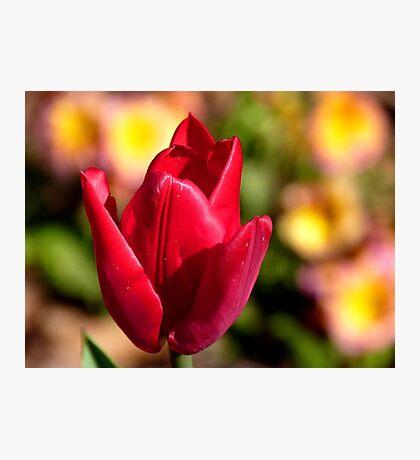 Indulgence - Red Tulip -NZ Photographic Print