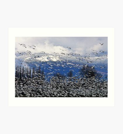 Snow Geese in the Skagit Art Print