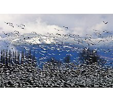 Snow Geese in the Skagit Photographic Print