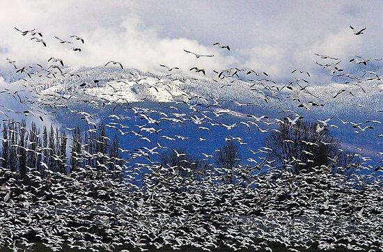 Snow Geese in the Skagit by Tom Vaughan