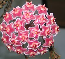 Hoya flower by Sue Wickes