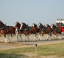 Budweiser Clydesdales by Paladin27