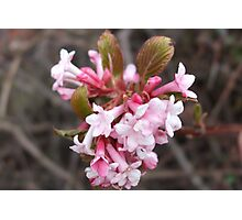 Viburnum Blossom Photographic Print