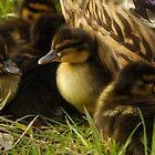 Baby ducks by Taka