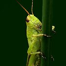 Meadow Grasshopper by Holly Cawfield