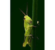Meadow Grasshopper Photographic Print