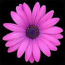 Pink African Daisy Isolated on A Black Background by taiche