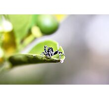 Jumping spider on lime tree Photographic Print