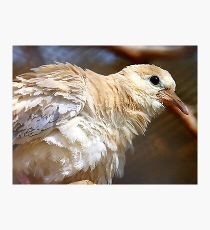 I'm Getting A Brand New Coat For Summer - Juvenile Dove - NZ Photographic Print