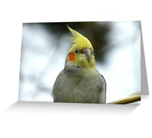Aww!! You Made Me Blush.. - Cockatiel - NZ Greeting Card