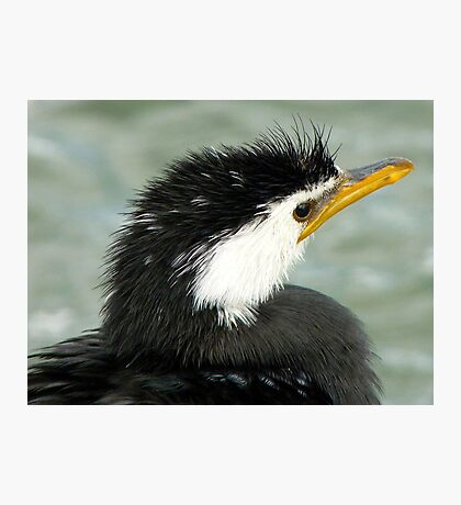 Who Said Eel? - Pied Cormorant - NZ Photographic Print