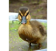 When You Are Up To Your Armpits In Alligators... Mallard Duckling - NZ Photographic Print