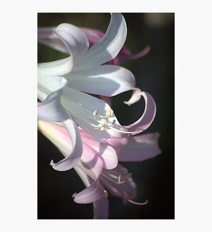 Sheer Beauty  Photographic Print