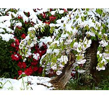 Just When We Were Perfect!!! - Rhododendron & Cherry Blossom Photographic Print