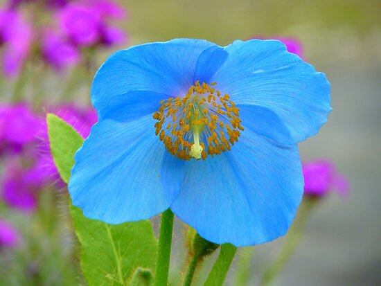 Dreams Of The Blue Poppy - Himalayan Blue Poppy - NZ by AndreaEL