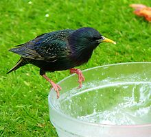 Hey!!!.. Who Ate All The Trifle? - Starling - NZ by AndreaEL