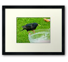 Hey!!!.. Who Ate All The Trifle? - Starling - NZ Framed Print