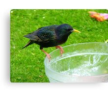 Hey!!!.. Who Ate All The Trifle? - Starling - NZ Canvas Print