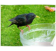 Hey!!!.. Who Ate All The Trifle? - Starling - NZ Poster