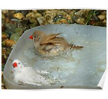 Have You Ever Seen A Zebra Bathing? - Zebra Finches - NZ Poster