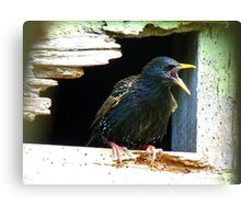 Hey!!! A Little Privacy Would Be Nice!!! - Starling - NZ Canvas Print