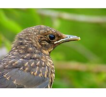 Oops.. Do I Have Egg On My Face? - Fledgling Blackbird - NZ Photographic Print